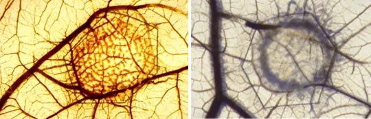 Induction of hemangiogenesis by human VEGF-A (left) and lymphangiogenesis by VEGF-C (right) in the avian chorioallantoic membrane